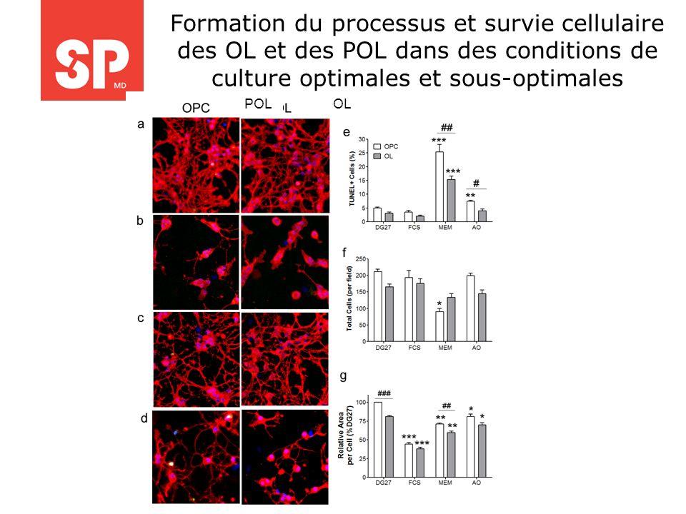 Formation du processus et survie cellulaire des OL et des POL dans des conditions de culture optimales et sous-optimales POLOL
