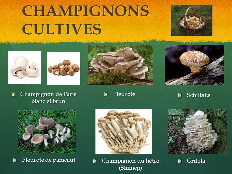 CHAMPIGNONS CULTIVES Champignon de Paris blanc et brun Grifola Schiitake Pleurote de panicaut Champignon du hêtre (Shimeji) Pleurote