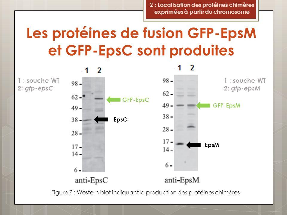 Les protéines de fusion GFP-EpsM et GFP-EpsC sont produites Figure 7 : Western blot indiquant la production des protéines chimères 2 : Localisation de