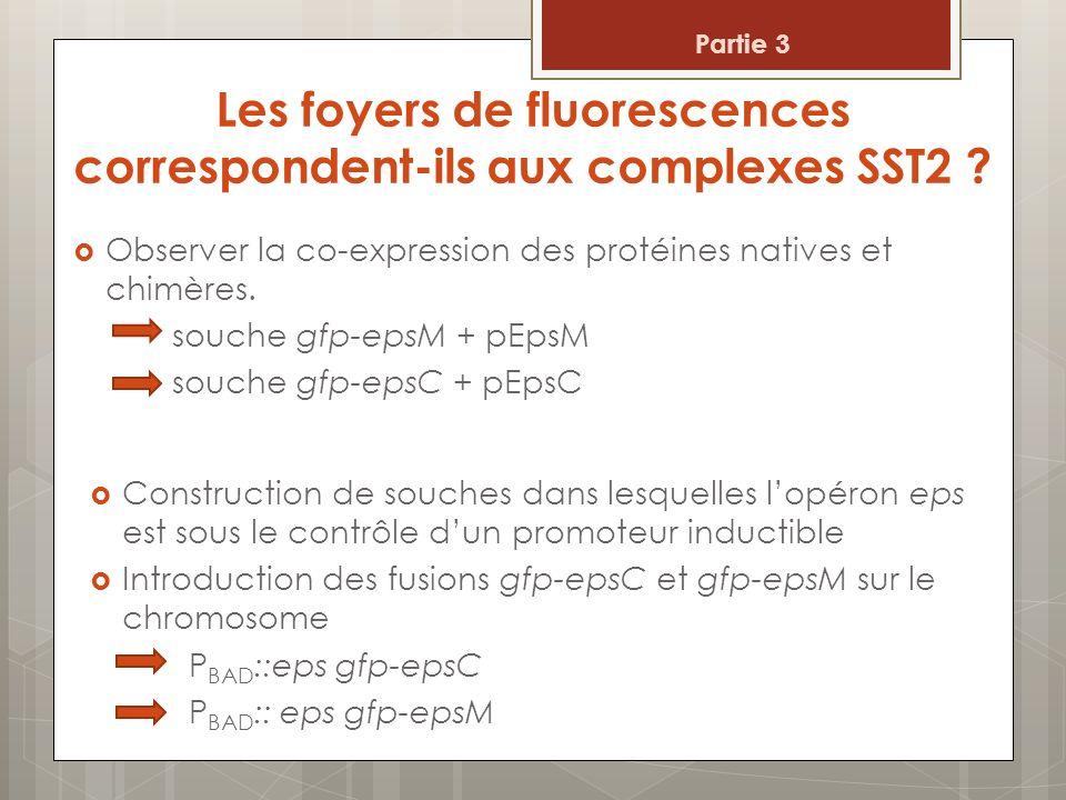 Les foyers de fluorescences correspondent-ils aux complexes SST2 ? Observer la co-expression des protéines natives et chimères. souche gfp-epsM + pEps