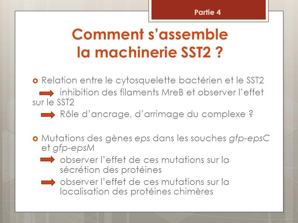 Comment sassemble la machinerie SST2 ? Relation entre le cytosquelette bactérien et le SST2 inhibition des filaments MreB et observer leffet sur le SS