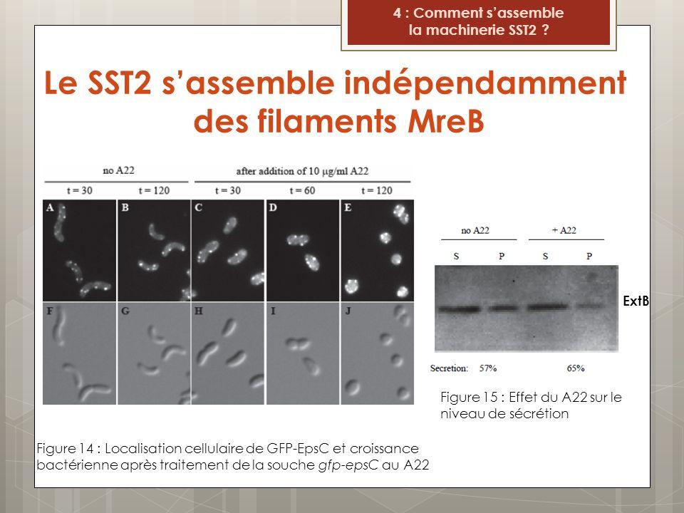 Le SST2 sassemble indépendamment des filaments MreB Figure 14 : Localisation cellulaire de GFP-EpsC et croissance bactérienne après traitement de la s