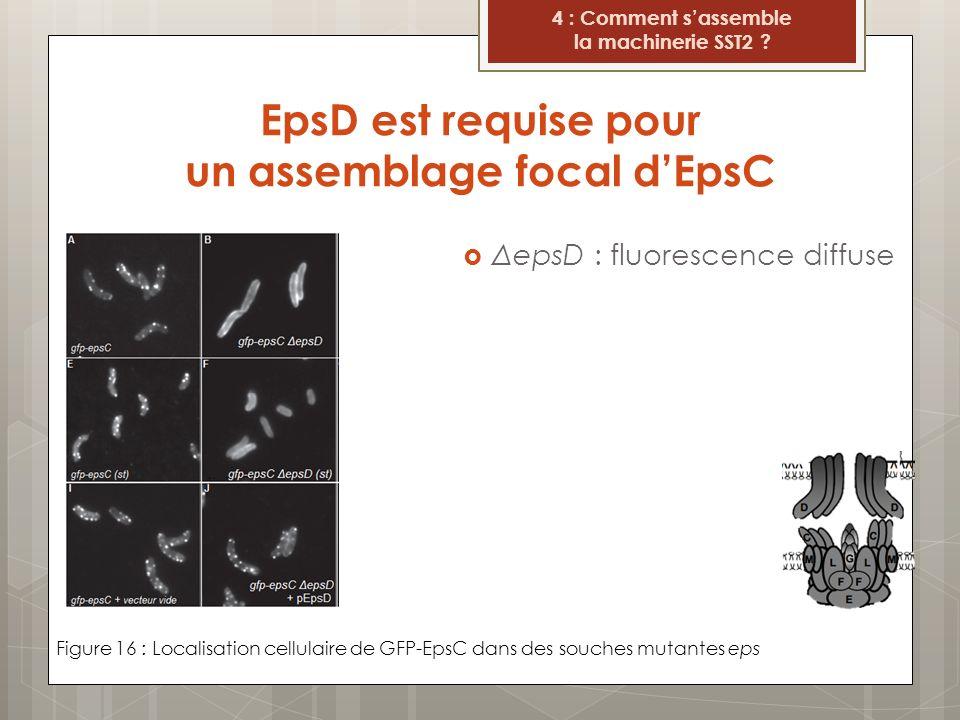 EpsD est requise pour un assemblage focal dEpsC Figure 16 : Localisation cellulaire de GFP-EpsC dans des souches mutantes eps 4 : Comment sassemble la