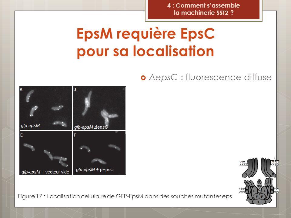 EpsM requière EpsC pour sa localisation Figure 17 : Localisation cellulaire de GFP-EpsM dans des souches mutantes eps 4 : Comment sassemble la machine