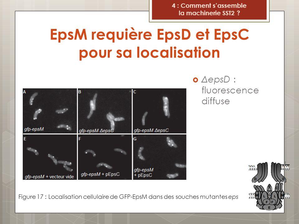 EpsM requière EpsD et EpsC pour sa localisation Figure 17 : Localisation cellulaire de GFP-EpsM dans des souches mutantes eps 4 : Comment sassemble la