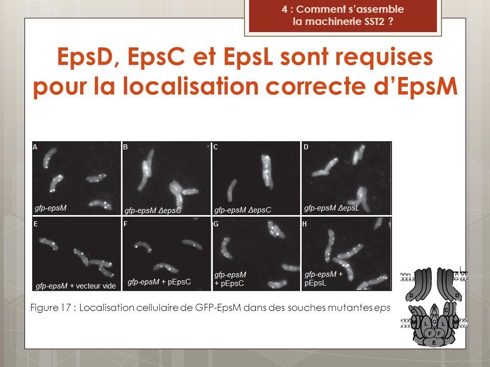 EpsD, EpsC et EpsL sont requises pour la localisation correcte dEpsM Figure 17 : Localisation cellulaire de GFP-EpsM dans des souches mutantes eps 4 :