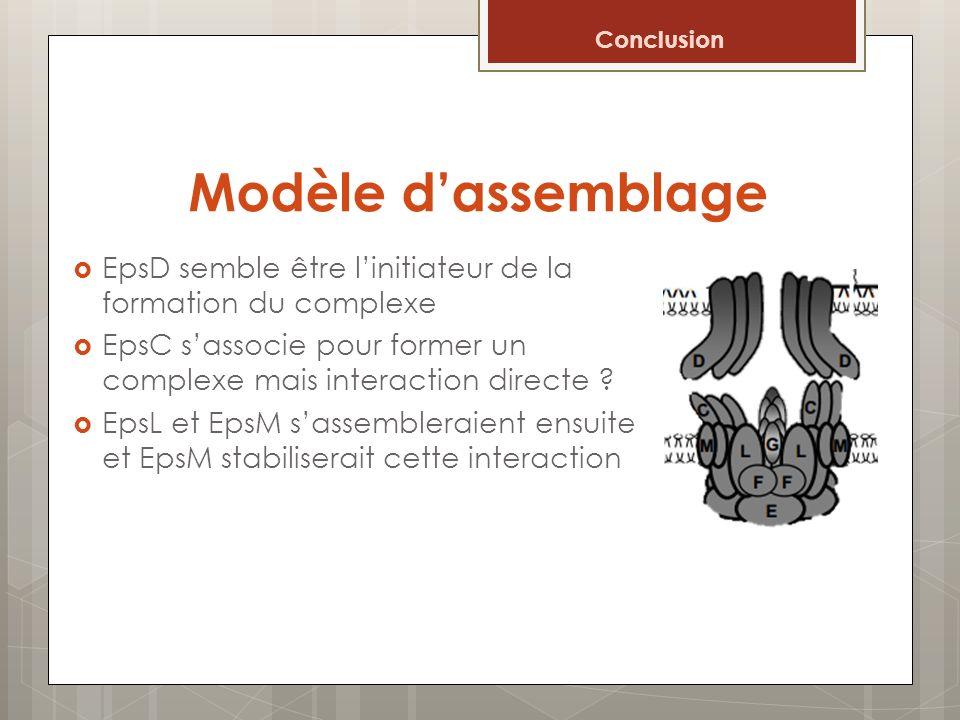 Modèle dassemblage EpsD semble être linitiateur de la formation du complexe EpsC sassocie pour former un complexe mais interaction directe ? EpsL et E