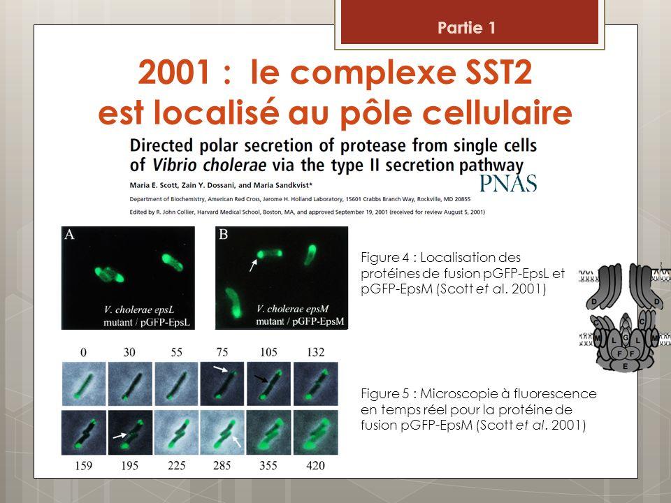 2001 : le complexe SST2 est localisé au pôle cellulaire Figure 4 : Localisation des protéines de fusion pGFP-EpsL et pGFP-EpsM (Scott et al. 2001) Fig