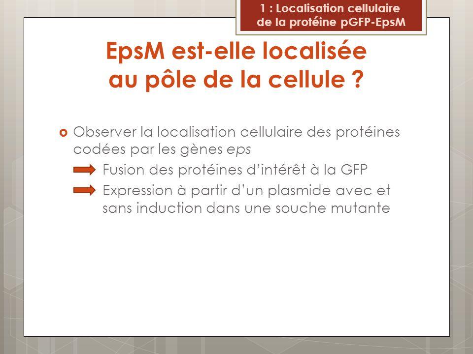 La distribution native dEpsM nest pas aux pôles cellulaires Induction à lIPTG : Foyers de fluorescence aux pôles de la cellules Sans induction : Fluorescence visible à la périphérie de la cellule 1 : Localisation cellulaire De la protéine pGFP-EpsM Figure 6 : Localisation cellulaire de la protéine chimère pGFP-EpsM dans une souche mutante epsM