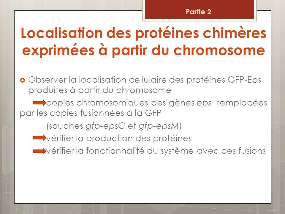 Les protéines de fusion GFP-EpsM et GFP-EpsC sont produites Figure 7 : Western blot indiquant la production des protéines chimères 2 : Localisation des protéines chimères exprimées à partir du chromosome 1 : souche WT 2: gfp-epsM 1 : souche WT 2: gfp-epsC