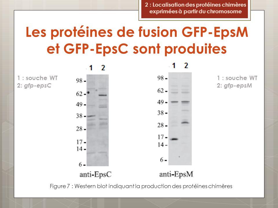 Les protéines de fusion GFP-EpsM et GFP-EpsC sont produites Figure 7 : Western blot indiquant la production des protéines chimères 2 : Localisation des protéines chimères exprimées à partir du chromosome GFP-EpsC GFP-EpsM 1 : souche WT 2: gfp-epsC 1 : souche WT 2: gfp-epsM