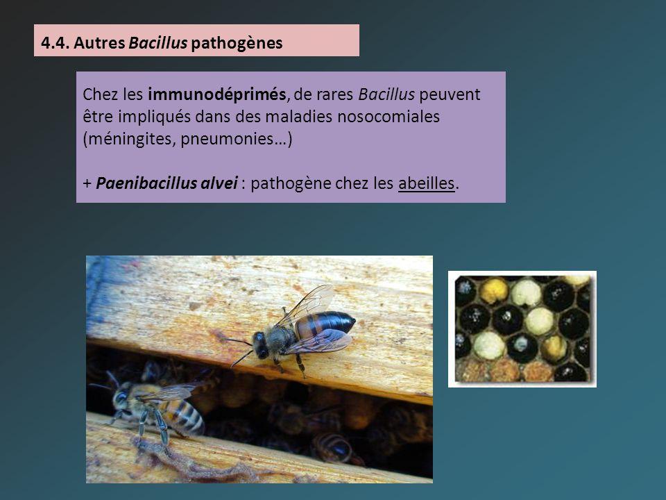 Chez les immunodéprimés, de rares Bacillus peuvent être impliqués dans des maladies nosocomiales (méningites, pneumonies…) + Paenibacillus alvei : pat