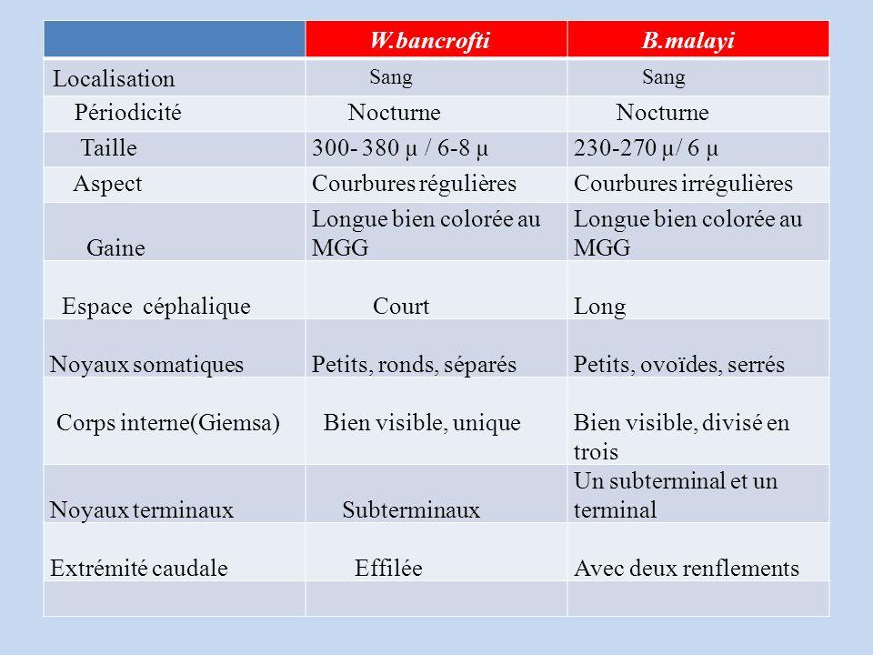 W.bancrofti B.malayi Localisation Sang Périodicité Nocturne Taille300- 380 µ / 6-8 µ230-270 µ/ 6 µ AspectCourbures régulièresCourbures irrégulières Gaine Longue bien colorée au MGG Espace céphalique CourtLong Noyaux somatiquesPetits, ronds, séparésPetits, ovoïdes, serrés Corps interne(Giemsa) Bien visible, uniqueBien visible, divisé en trois Noyaux terminaux Subterminaux Un subterminal et un terminal Extrémité caudale EffiléeAvec deux renflements