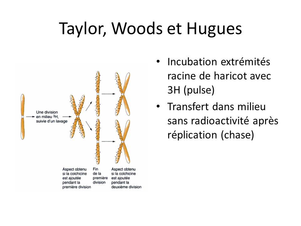 Taylor, Woods et Hugues Incubation extrémités racine de haricot avec 3H (pulse) Transfert dans milieu sans radioactivité après réplication (chase)
