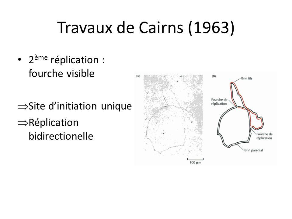 Travaux de Cairns (1963) 2 ème réplication : fourche visible Site dinitiation unique Réplication bidirectionelle