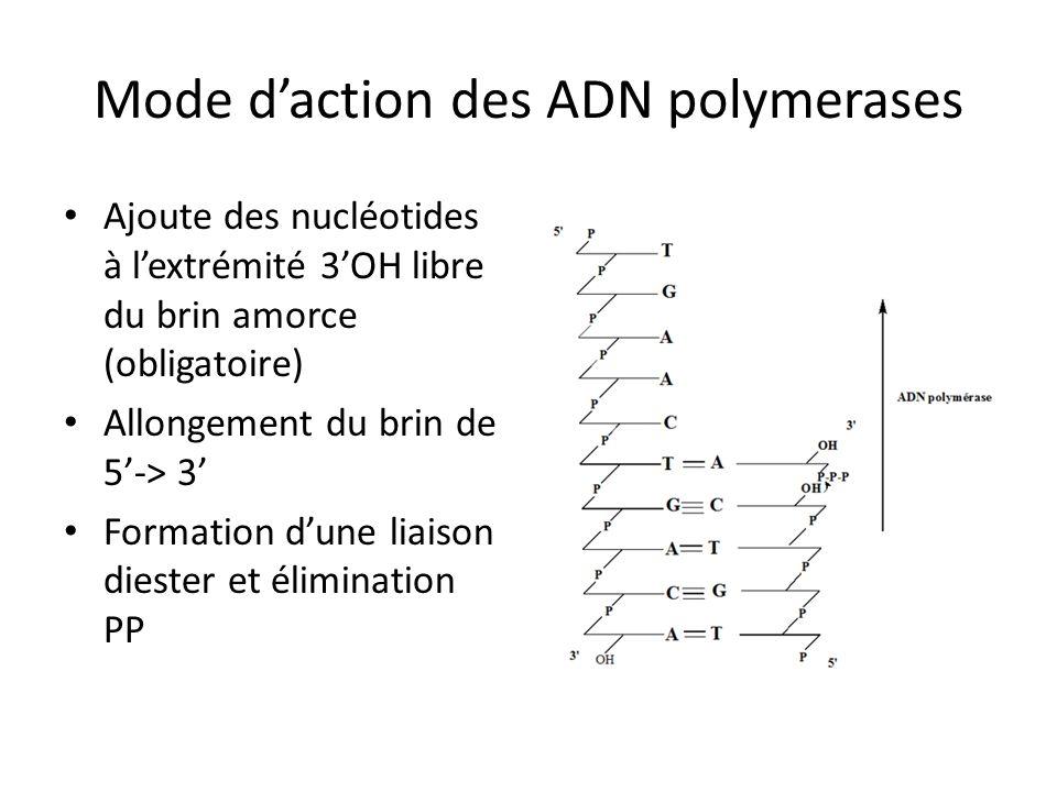 Mode daction des ADN polymerases Ajoute des nucléotides à lextrémité 3OH libre du brin amorce (obligatoire) Allongement du brin de 5-> 3 Formation dun