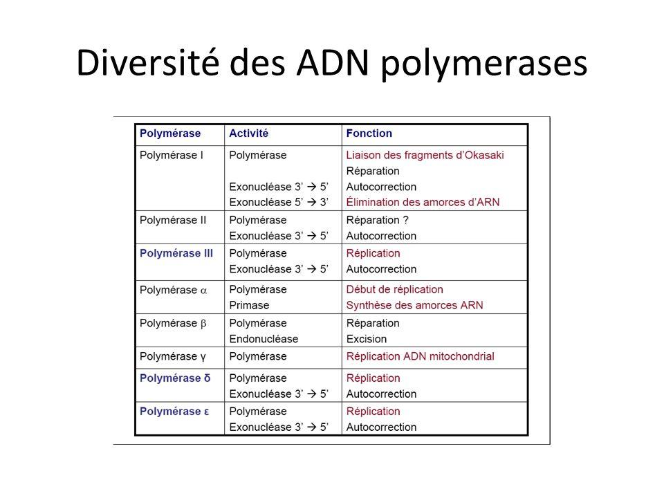 Diversité des ADN polymerases