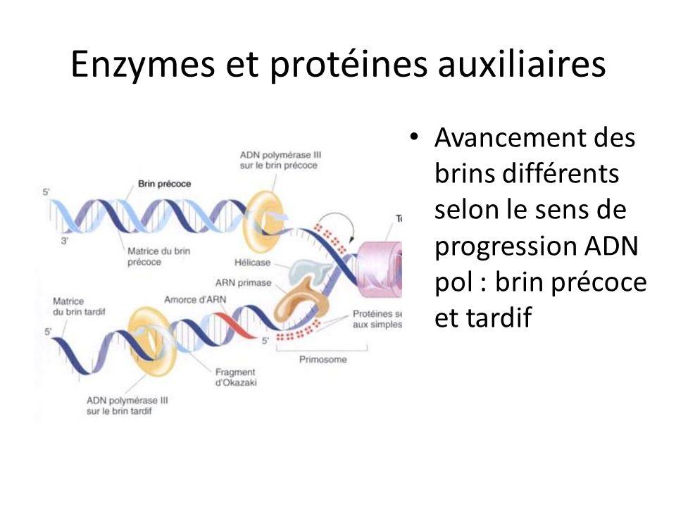 Enzymes et protéines auxiliaires Avancement des brins différents selon le sens de progression ADN pol : brin précoce et tardif