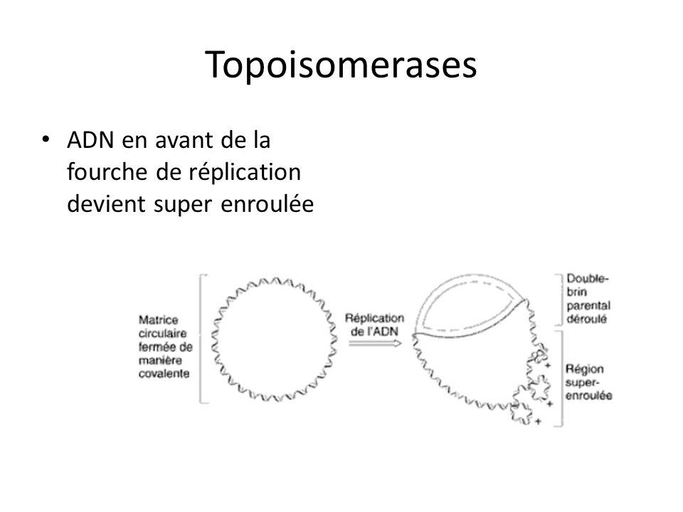 Topoisomerases ADN en avant de la fourche de réplication devient super enroulée