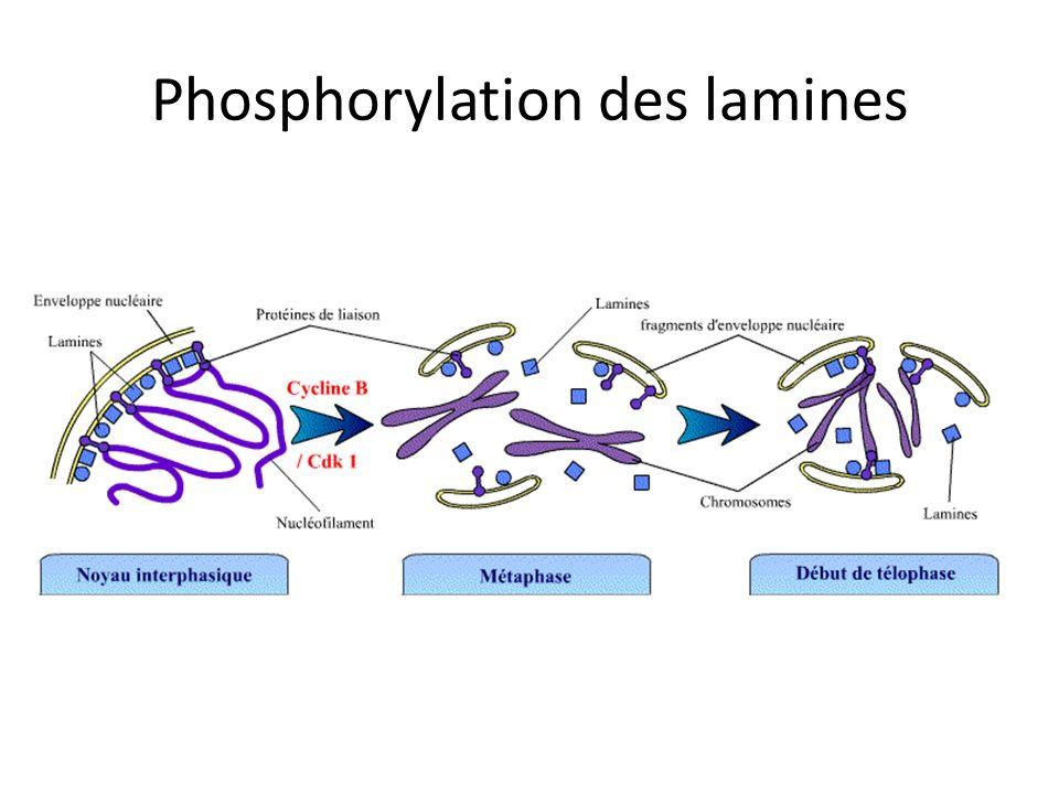 Phosphorylation des lamines