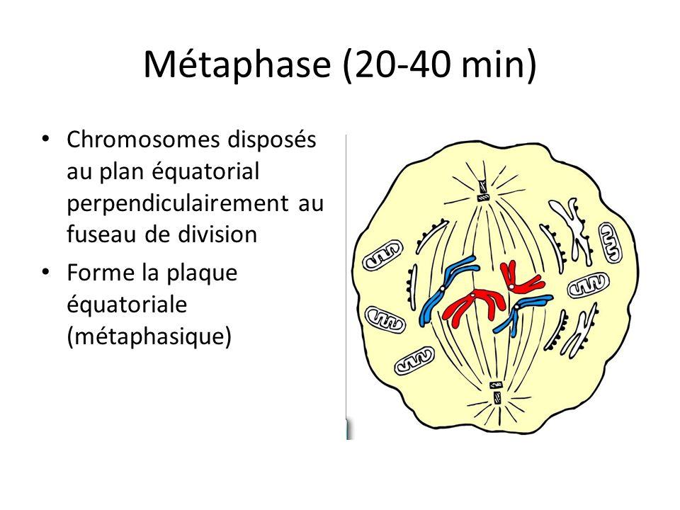 Métaphase (20-40 min) Chromosomes disposés au plan équatorial perpendiculairement au fuseau de division Forme la plaque équatoriale (métaphasique)