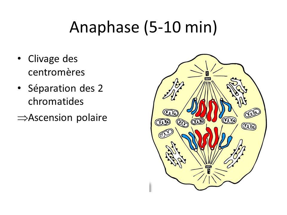 Anaphase (5-10 min) Clivage des centromères Séparation des 2 chromatides Ascension polaire