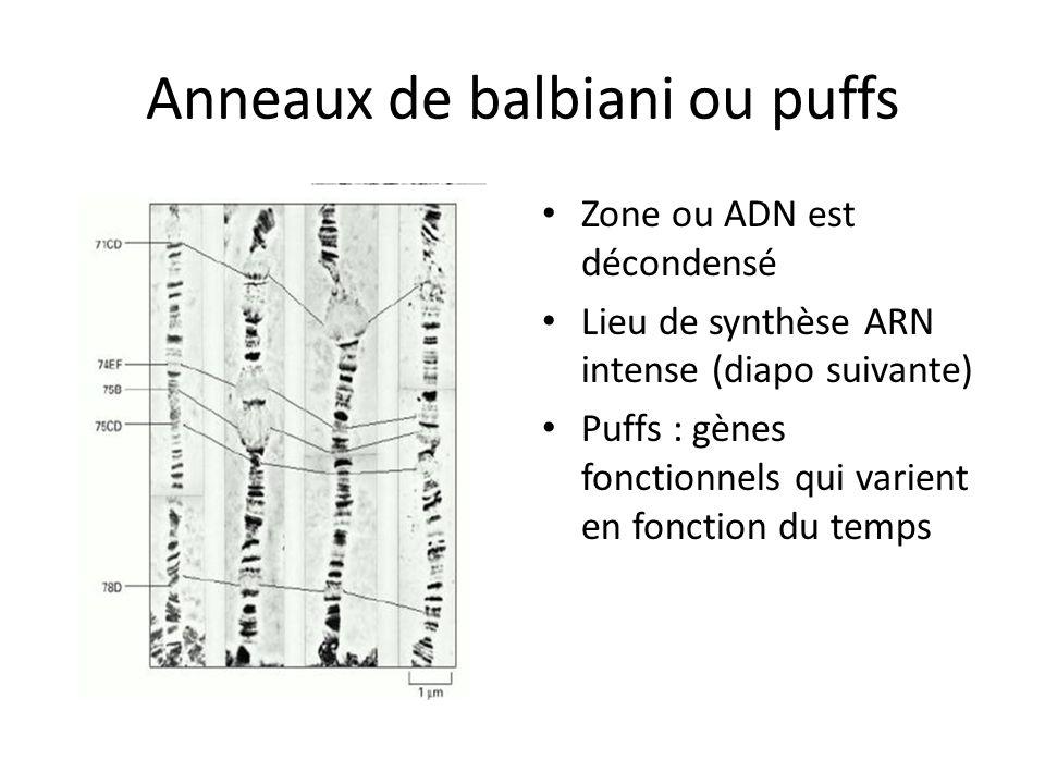 Anneaux de balbiani ou puffs Zone ou ADN est décondensé Lieu de synthèse ARN intense (diapo suivante) Puffs : gènes fonctionnels qui varient en foncti