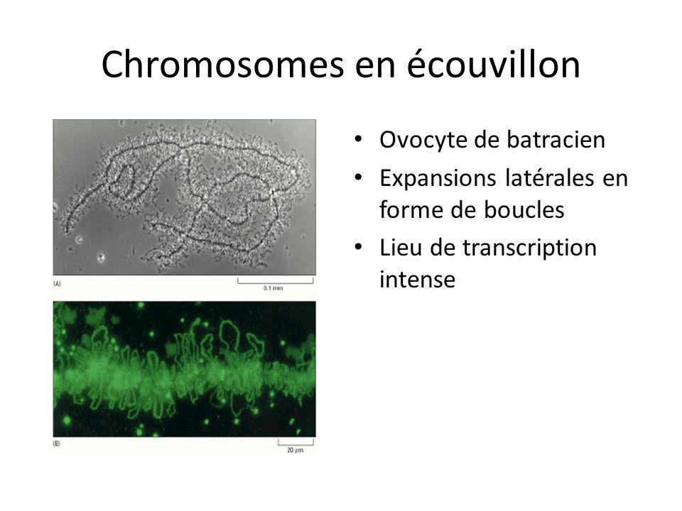 Chromosomes en écouvillon Ovocyte de batracien Expansions latérales en forme de boucles Lieu de transcription intense