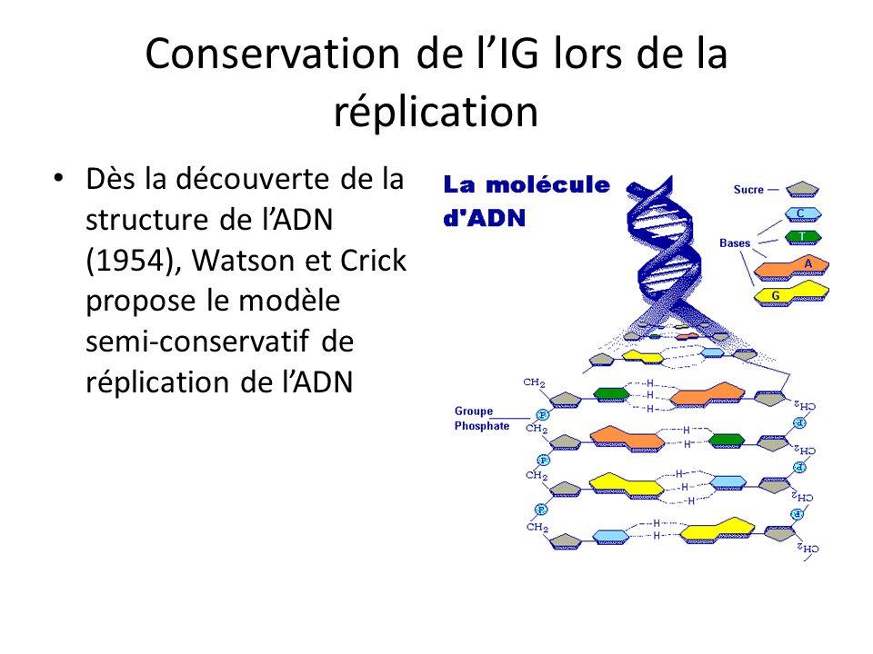 Conservation de lIG lors de la réplication Dès la découverte de la structure de lADN (1954), Watson et Crick propose le modèle semi-conservatif de rép