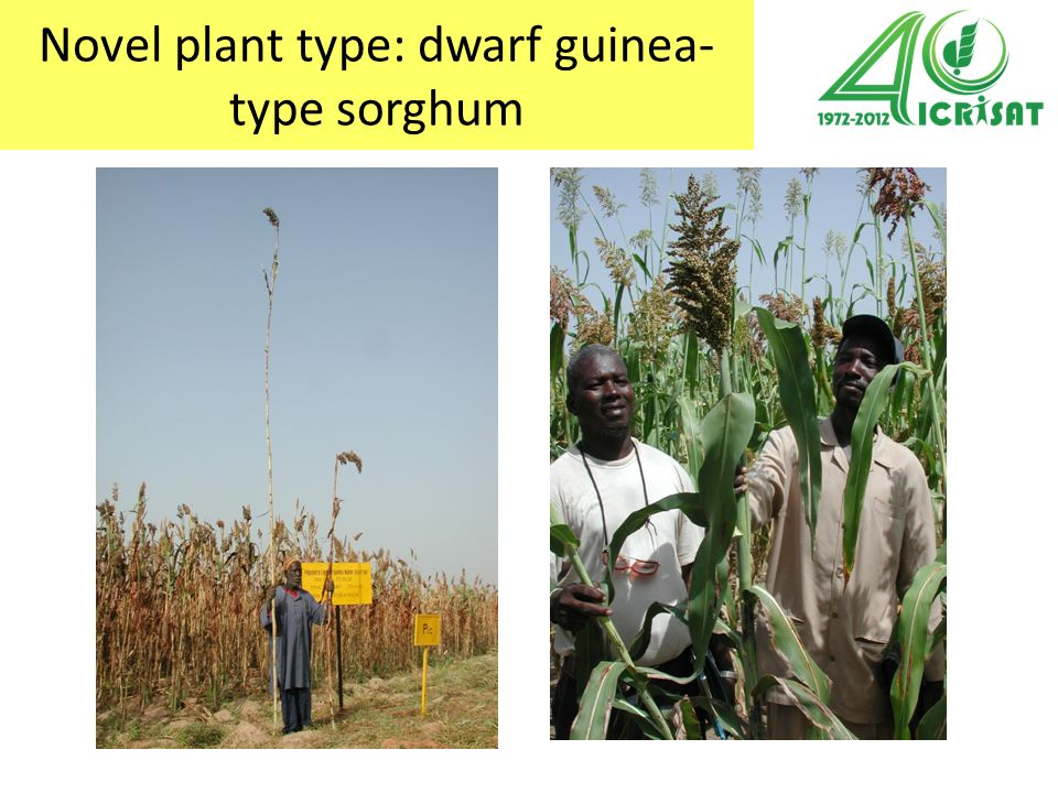 Breeding targets for sorghum for the Sudanian zone of West Africa 1.Photoperiod sensitivity: flowering on 25 th of September 2.Plant height of at least 1.8m 3.Open panicles, with glumes that open at maturity (grain mold avoidance, threshability) 4.Hard grains with high decortication yield and good to quality 5.Significantly increased grain yield