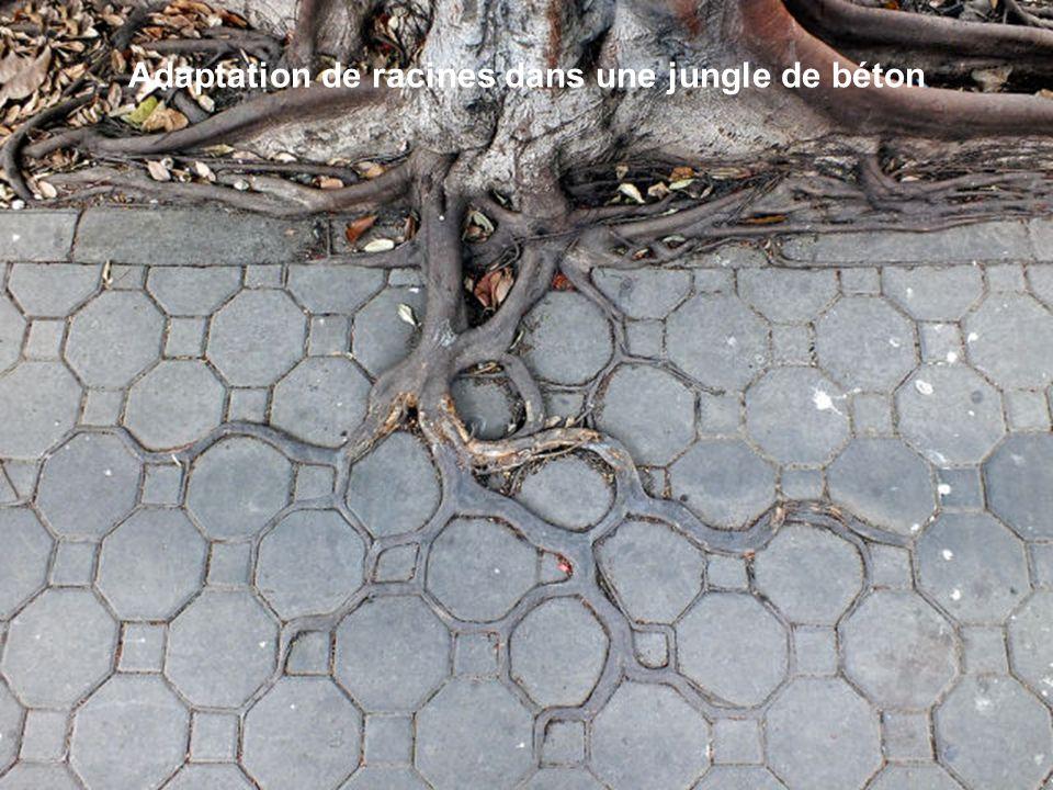 Adaptation de racines dans une jungle de béton