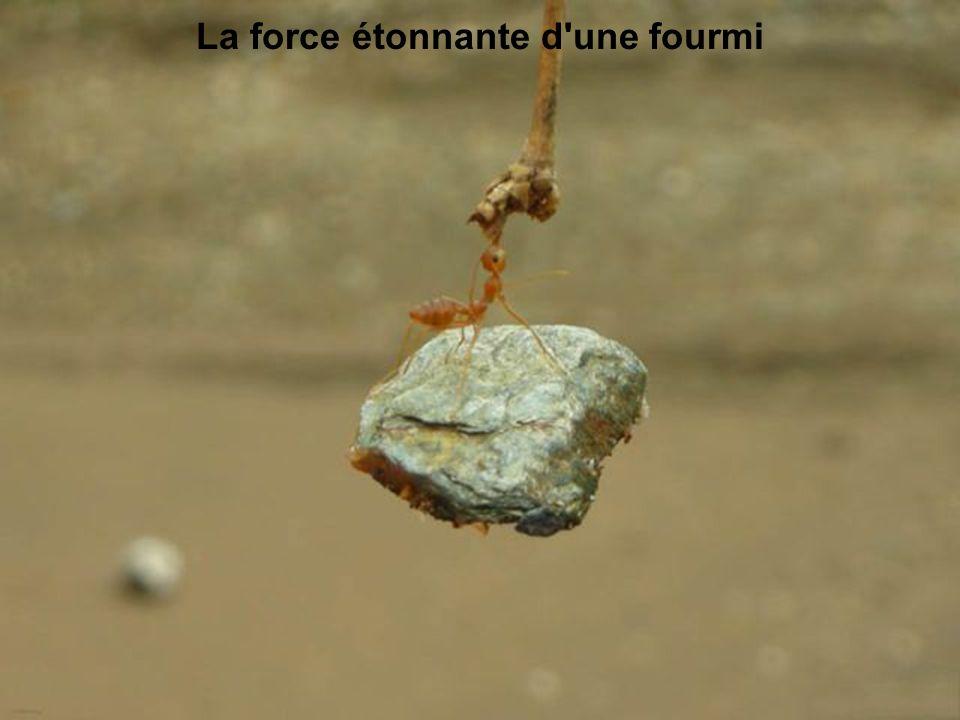La force étonnante d une fourmi