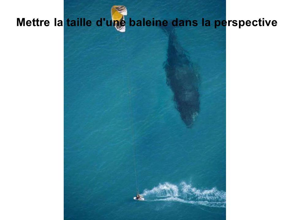 Mettre la taille d une baleine dans la perspective