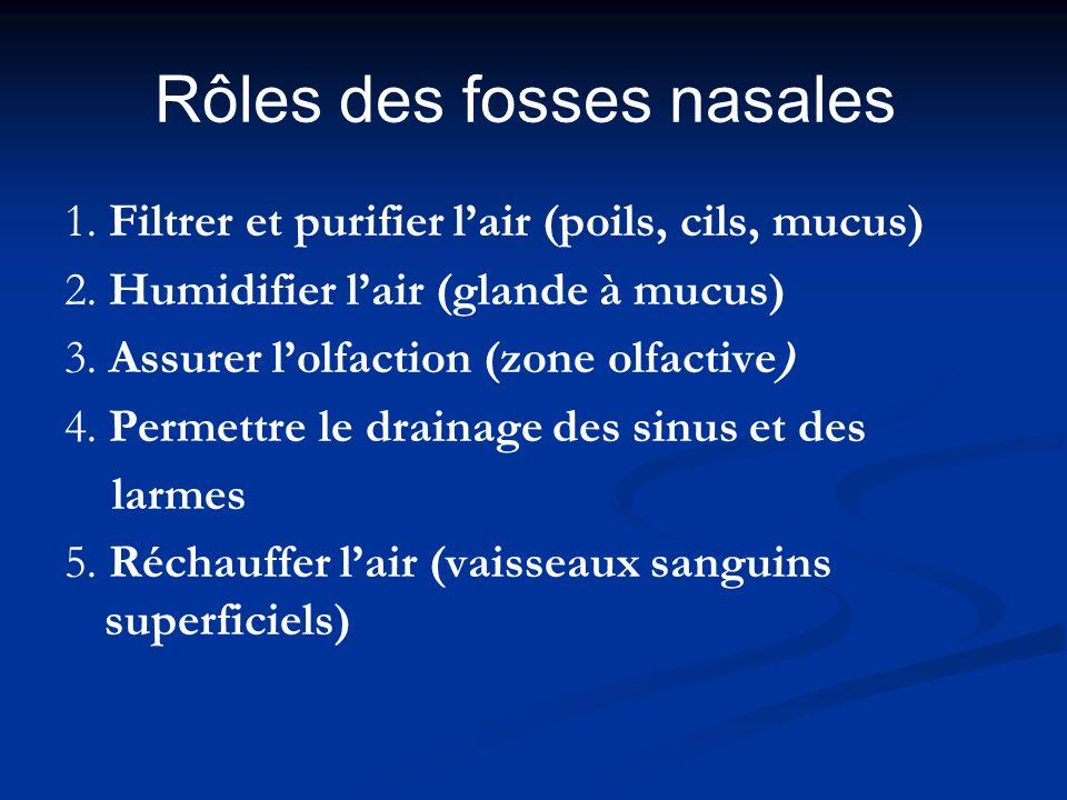 Rôles des fosses nasales 1. Filtrer et purifier lair (poils, cils, mucus) 2. Humidifier lair (glande à mucus) 3. Assurer lolfaction (zone olfactive) 4
