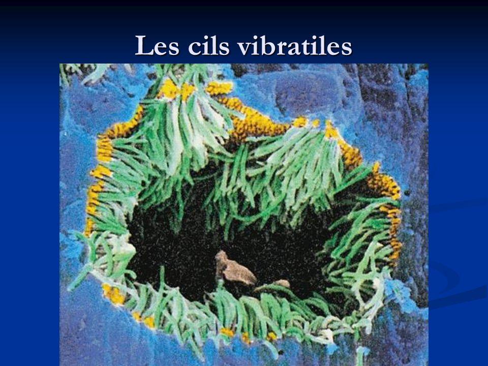 Les cils vibratiles