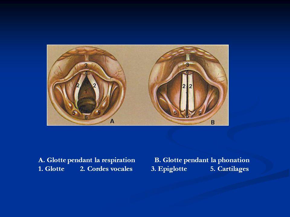 A. Glotte pendant la respiration B. Glotte pendant la phonation 1. Glotte 2. Cordes vocales 3. Epiglotte 5. Cartilages
