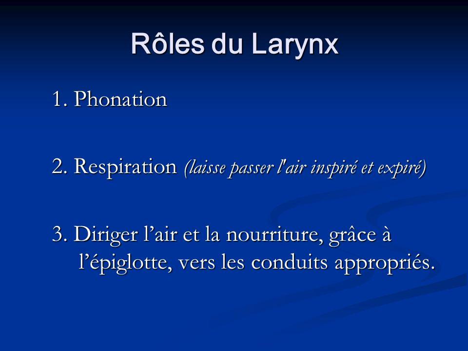 Rôles du Larynx 1. Phonation 2. Respiration (laisse passer l'air inspiré et expiré) 3. Diriger lair et la nourriture, grâce à lépiglotte, vers les con