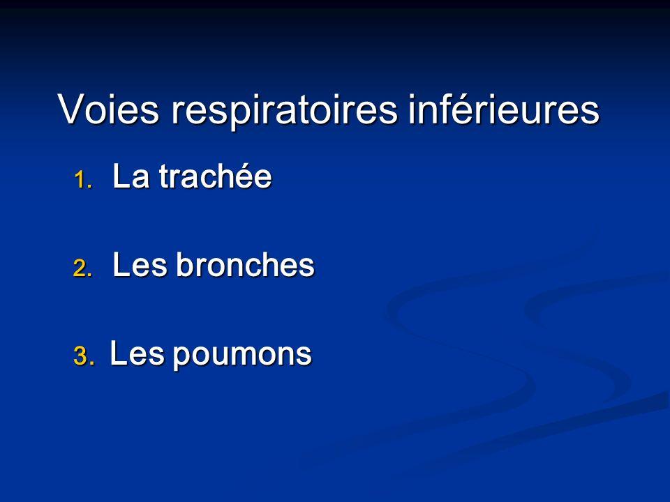 1. La trachée 2. Les bronches 3. Les poumons Voies respiratoires inférieures