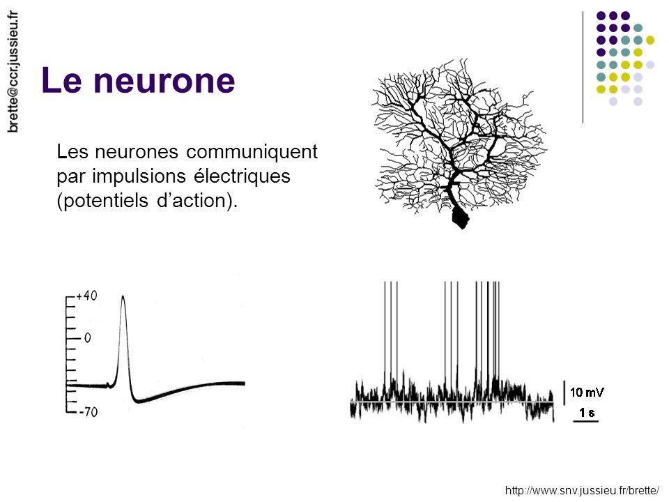 http://www.snv.jussieu.fr/brette/ Le neurone Les neurones communiquent par impulsions électriques (potentiels daction).