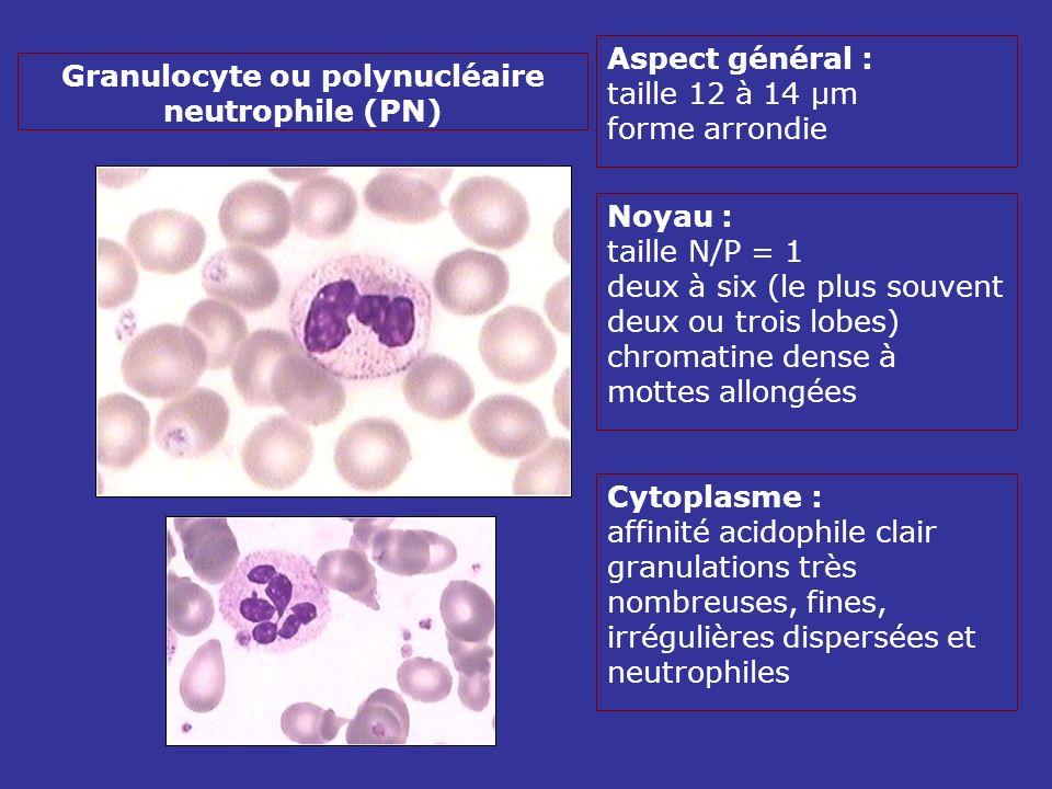 Aspect général : taille 12 à 14 µm forme arrondie Noyau : taille N/P = 1 deux à six (le plus souvent deux ou trois lobes) chromatine dense à mottes allongées Cytoplasme : affinité acidophile clair granulations très nombreuses, fines, irrégulières dispersées et neutrophiles Granulocyte ou polynucléaire neutrophile (PN)