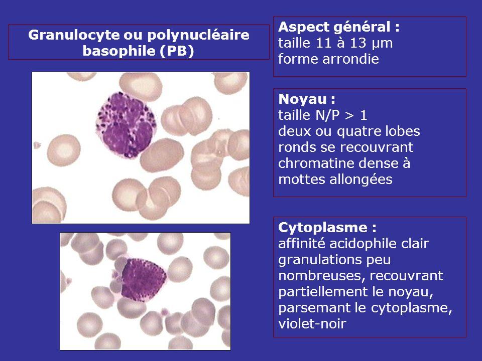 Aspect général : taille 11 à 13 µm forme arrondie Noyau : taille N/P > 1 deux ou quatre lobes ronds se recouvrant chromatine dense à mottes allongées Cytoplasme : affinité acidophile clair granulations peu nombreuses, recouvrant partiellement le noyau, parsemant le cytoplasme, violet-noir Granulocyte ou polynucléaire basophile (PB)