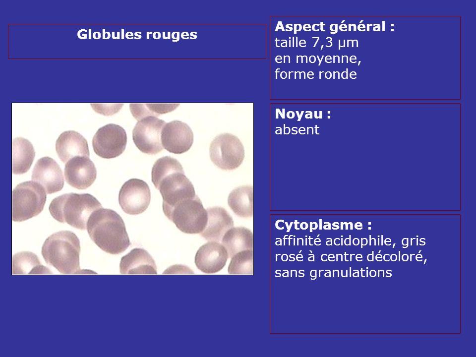 2- Tissu Médullaire hématopoïétique Tissu dorigine conjonctive très spécialisé, situé entre des lamelles dos spongieux, séparé de los par lendoste, très richement vascularisé, dont les cellules matures séchappent par un mécanisme actif par des sinus veineux Les cellules hématopoïétiques sont disposées dans une trame de tissu de soutien conjonctif (collagène, protéoglycannes, fibronectine, laminine..) Microenvironnement médullaire ou stroma, composé par fibroblastes, cellules endothéliales, macrophages, adipocytes, ostéoblastes… Il influence la survie, la multiplication, la différenciation des cellules hématopoïétiques en sécrétant des matrices permettant ladhésion et des facteurs de croissance.