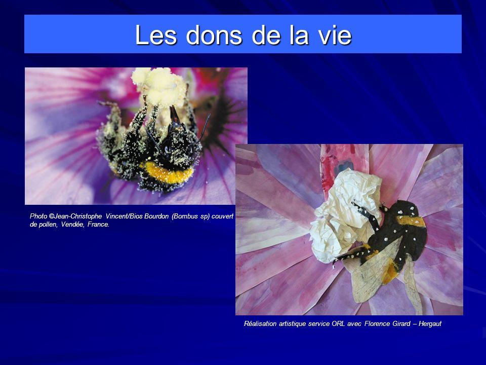 Les dons de la vie Photo ©Jean-Christophe Vincent/Bios Bourdon (Bombus sp) couvert de pollen, Vendée, France.