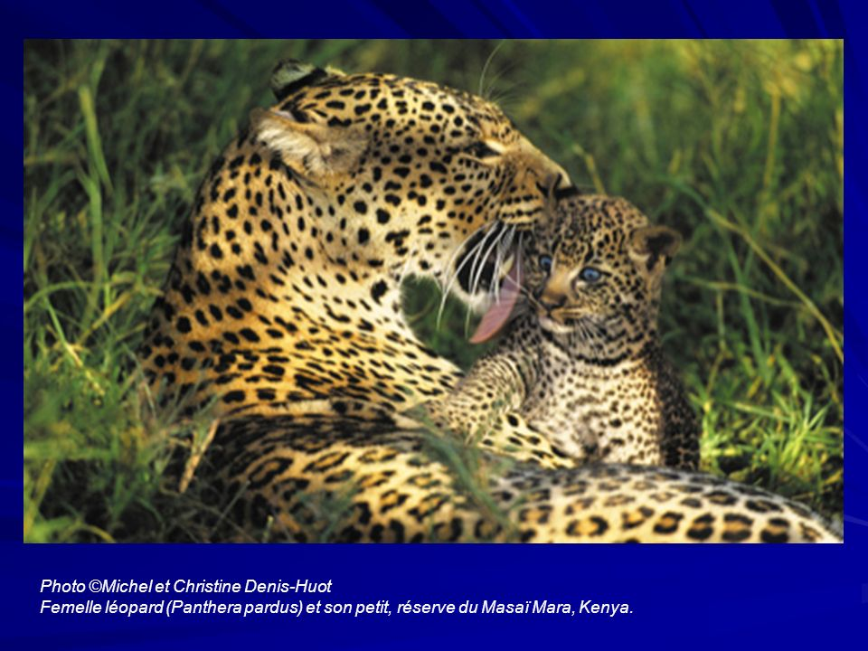 Photo ©Michel et Christine Denis-Huot Femelle léopard (Panthera pardus) et son petit, réserve du Masaï Mara, Kenya.