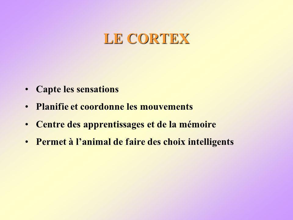 LE CORTEX Capte les sensations Planifie et coordonne les mouvements Centre des apprentissages et de la mémoire Permet à lanimal de faire des choix intelligents