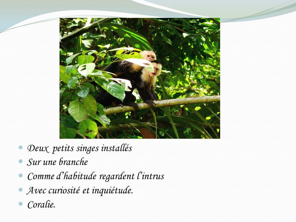 Deux petits singes installés Sur une branche Comme dhabitude regardent lintrus Avec curiosité et inquiétude.