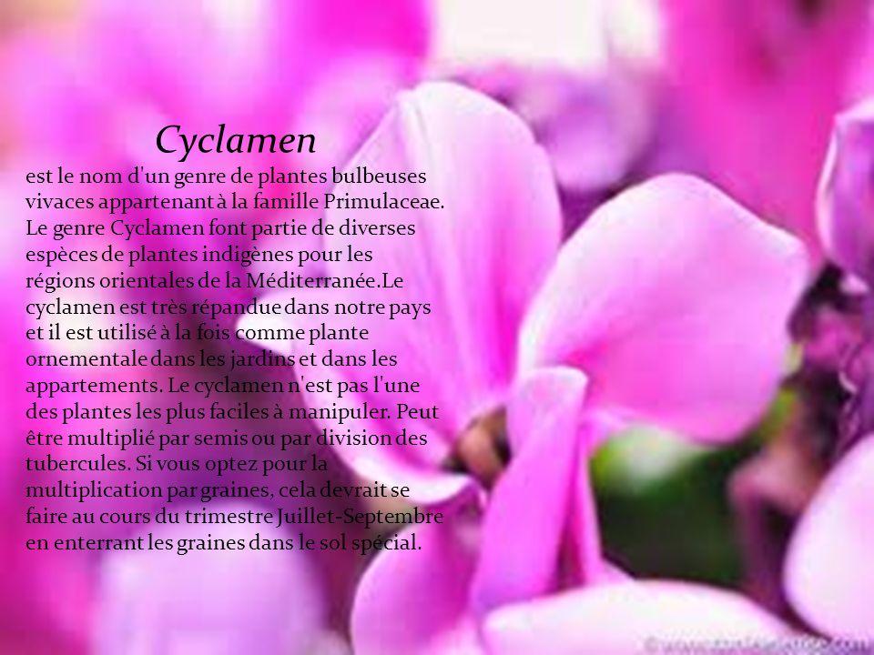 Cyclamen est le nom d un genre de plantes bulbeuses vivaces appartenant à la famille Primulaceae.