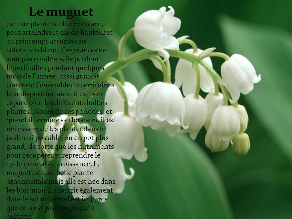 Le muguet est une plante herbacée vivace, peut atteindre 15 cm de hauteur et au printemps assume une coloration blanc.