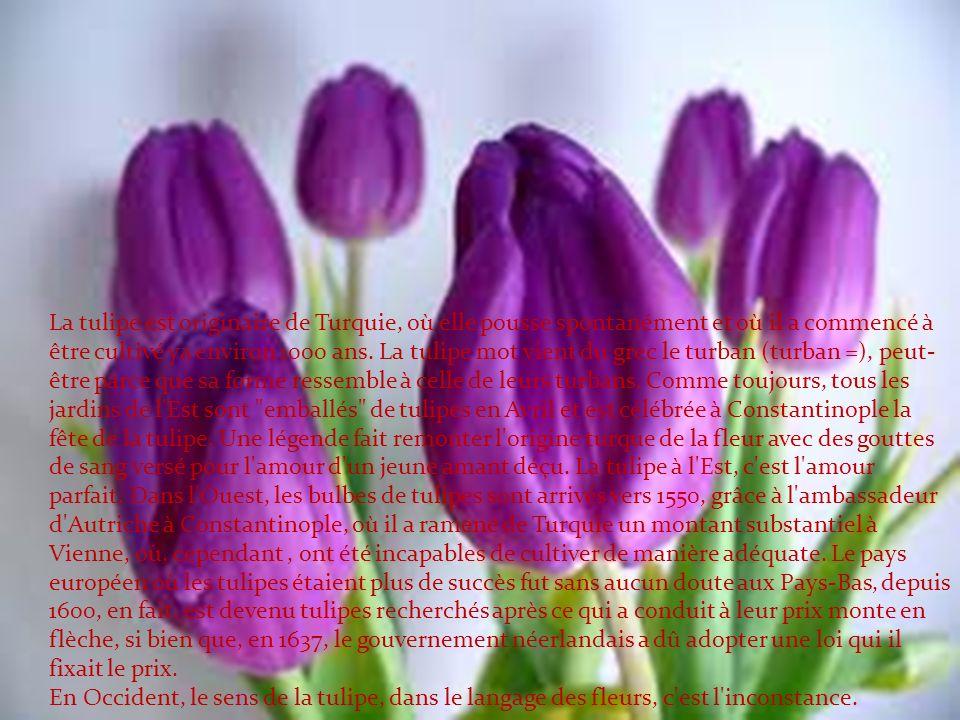 La tulipe est originaire de Turquie, où elle pousse spontanément et où il a commencé à être cultivé ya environ 1000 ans.