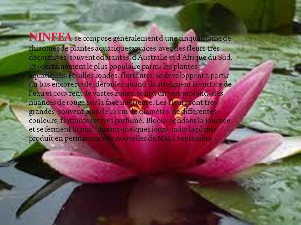 NINFEA se compose généralement d une cinquantaine de rhizomes de plantes aquatiques vivaces, avec des fleurs très décoratives, souvent odorantes, d Australie et d Afrique du Sud.